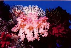 Pale Pink soft coral surrounede by croinoids. Nokonos V 2... by Marylin Batt 
